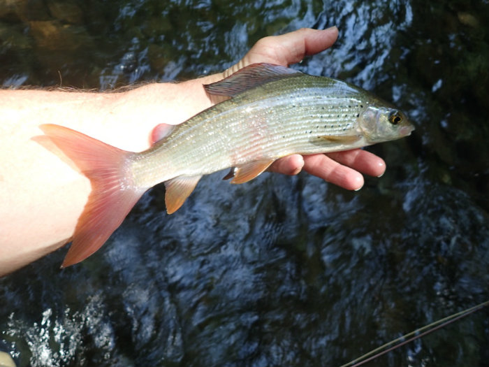 Grayling on the Kupa have large tails